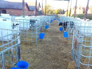 All the calf pens, under the barn out of the wind.